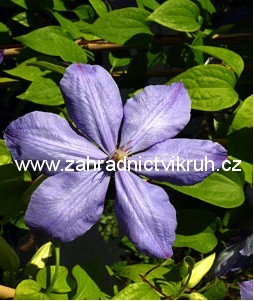 Clematis MRS. CHOLMONDELEY - modr�