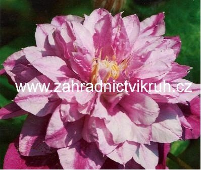 Clematis ´Patricia Anna Fretwell´ 2l