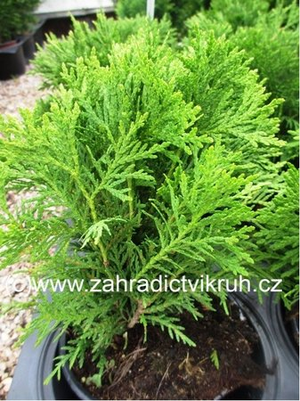 "Thuja occidentalis ""Tiny Tim"""