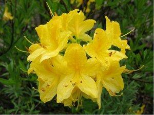 Azalka velkokvětá Goldtopas - žlutá