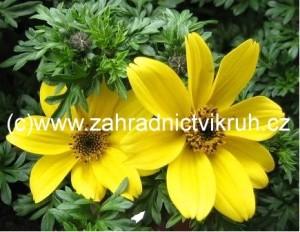 Balkongold - žlutý