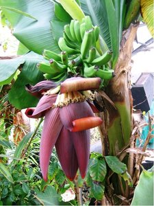 Banánovník Picolo