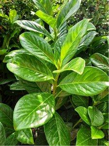 Bobkovišeň lékařská - Prunus laurocerasus ´Novita´