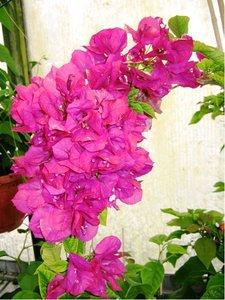 Bougainvilea v květináči P17 - keř