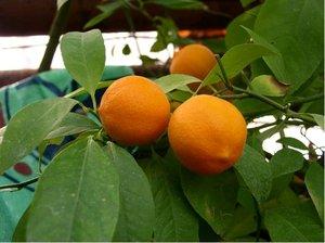 Citroník LAIM - červenoplodý