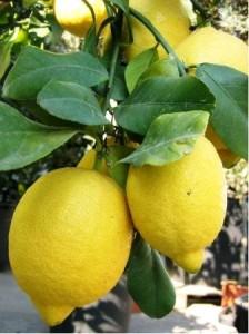 Citroník - roubovaný