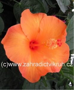 Ibišek pokojový Orange - oranžový s červeným okem