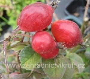 Růže dužnoplodá - KARPATIA - Růže jablíčková