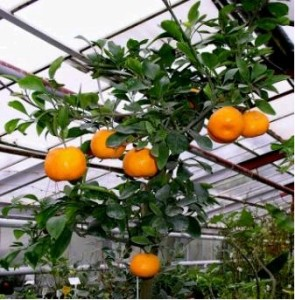 Mandarinka roubovaná