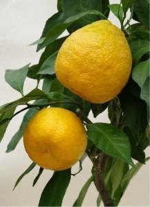 Mandarinka OKITSU - roubovaná