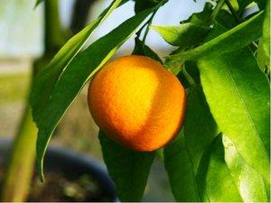 Mandarinka RUBINO - roubovaná