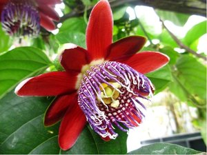 Mučenka OBŘÍ - Passiflora alata