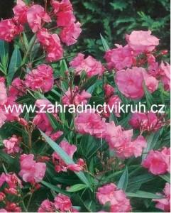 Oleandr růžový