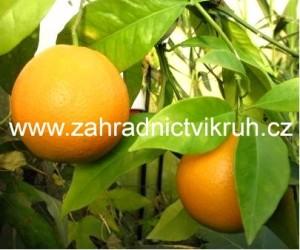 Pomeranč v misce P25