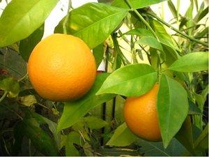 Pomerančovník WASHINGTON - roubovaný