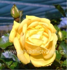 Růže velkokvětá LANDORA - zářivě žlutá