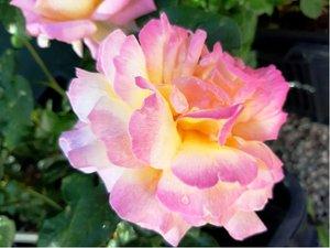 Růže velkokvětá GLORIA DEI - růžovožlutá