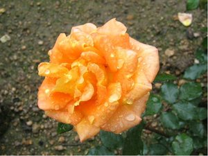 Růže WHISKY - velkokvětá, oranžová