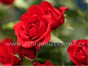Růže polyantka SATCHMO - zářivě červená