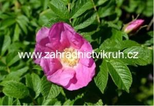 Růže vrásčitá