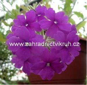 Verbena převislá velkokvětá - fialová