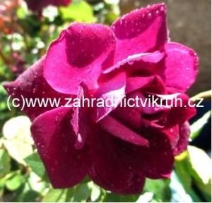Růže polyantka PURPLE ICE - fialová