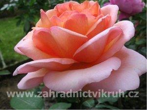Růže velkokvětá DIE WELT - růžovooranžová