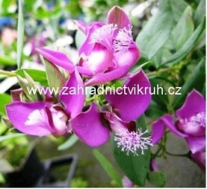POLYGALA N�DHERN�- Polygala myrtifolia