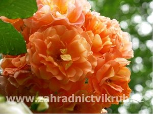 Růže pnoucí WESTERLAND - oranžová