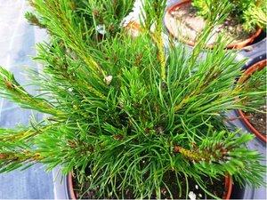 "Borovice kleč ""Pumilio"" - Pinus mugo var. pumilio"