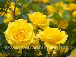 Růže polyantka FRISCO - žlutá