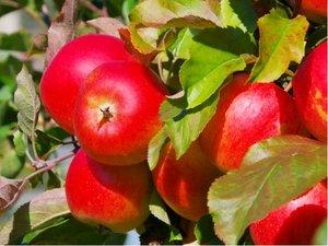 Jabloň RUBINOLA - podnož M9
