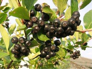 Aronie NERO - černý jeřáb stromek - podnož semenáč jeřábu