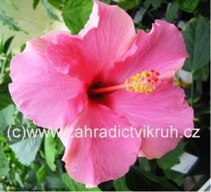 Ibišek pokojový Pink Red Eye - růžový s červeným okem