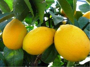 Citroník MEYER v květináči P20