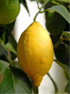 Citroník LUNARIO - roubovaný
