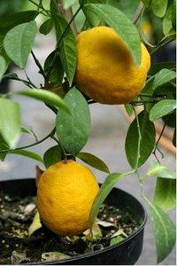 Citroník LISBON - roubovaný
