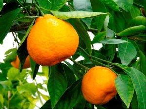 Mandarinka PRIMASOLE - roubovaná