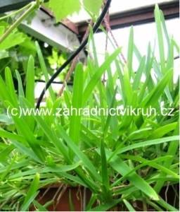 Bambus převislý - zelený