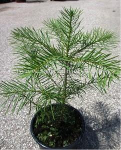 Jedle ojíněná - Abies concolor, výška 125 - 150 cm