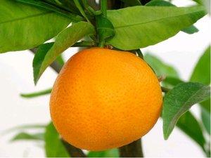 Mandarinka SPINOSO - roubovaná
