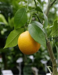 Pomerančovník VERNA - roubovaný