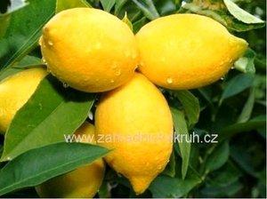 Citroník ZAGARA BIANCA - roubovaný