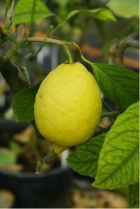 Citroník AMALFITANO - roubovaný