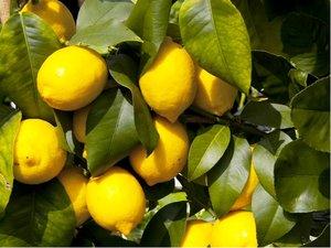 Citron�k ADAMO - roubovan�