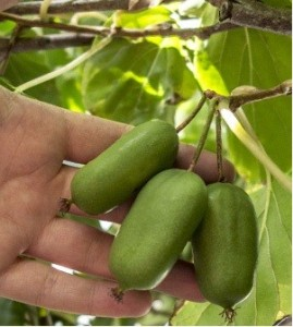 Kiwi arguta Jumbo - samice, extra 2l