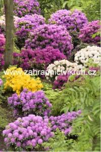 Rhododendron - směs barev