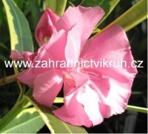 Oleandr panašovaný - růžový