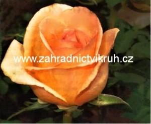 Růže velkokvětá VERSZILIA - třpytivě zlatá