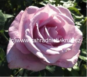 Růže velkokvětá SISSI - modrofialová